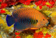 Potter's Angelfish, Centropyge potteri