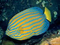 Bluestriped Angelfish, Chaetodontoplus septentrionalis