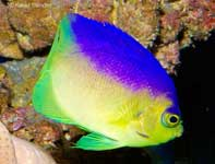 Colin's Pygmy Angelfish, Centropyge colini
