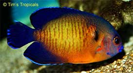Coral Beauty Angelfish, Centropyge bispinosa