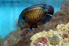 Bluefin or Dusky Angelfish, Centropyge multispinis