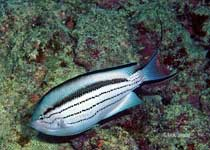 Blackstriped Angelfish, Genicanthus-lamarck