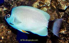 Masked Angelfish, Genicanthus personatus