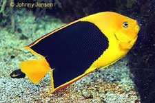 Rock Beauty Angelfish, Holacanthus tricolor