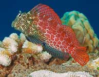 Shortbodied Blenny, Exallias brevis