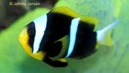Orangefin Clownfish, Amphiprion chrysopterus
