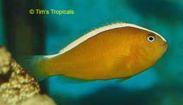 Yellow Skunk Clownfish, Amphiprion sandaracinos