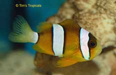 Yellow Tail Clownfish, Amphiprion clarkii