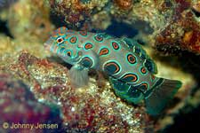 Mandarin Goby, Synchiropus picturatus