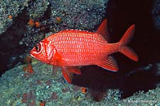 Blue lined, blue stripe or Tahitian Squirrelfish, Sargocentron tiere