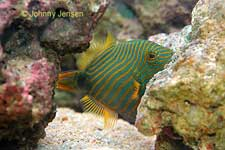 Orange-Lined Triggerfish, Balistapus undulatus