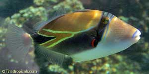 Reef Triggerfish, Rhinecanthus rectangulus